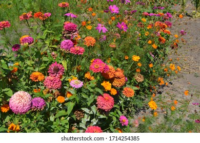 Multicolored flowers. Flower Zinnia. Gardening. Home garden, flower bed. Zinnia, a genus of annual and perennial grasses and dwarf shrubs of the Asteraceae family