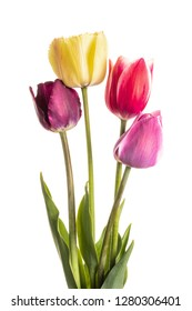 Multi-colored flowers tulips of natural coloring isolated on white background