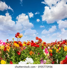 The multicolored garden buttercups in a kibbutz field with a magnificent carpet. Walk in the world of flowers. Israel. Windy cloudy day.