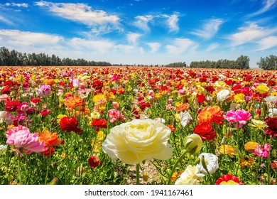 The multicolored garden buttercups in a kibbutz field with a magnificent carpet. Walk in the world of flowers. Windy cloudy day. Israel.
