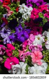 Multicolored garden Petunia flowers background