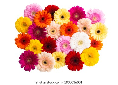 multicolored gerbera isolated on white background