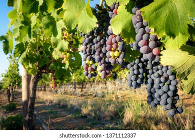 Multicolored grapes ripening in vineyard, close-up
