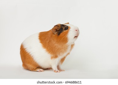 multicolored guinea-pig on the light background