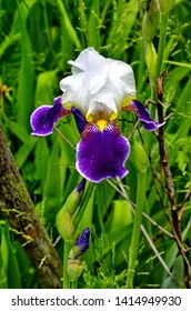 multi-colored high-quality flowers of irises against the background of other flowers and greens