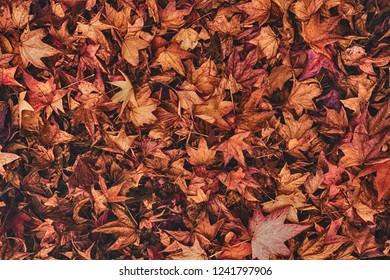 Multicolored japanese maple autumnal dry leaves on the ground as organic natural texture pattern