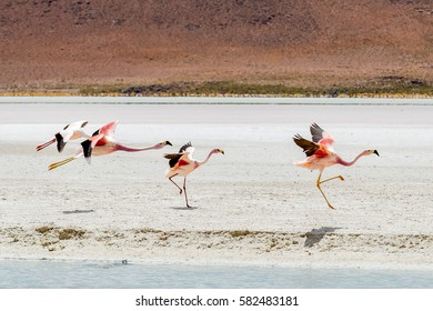 Multicolored lagoons in the Southwest Altiplano full of thousands of pink flamingos and shy vicuna running around weathered colored volcanic hills - Laguna Hedionda, Alitplano, Bolivia