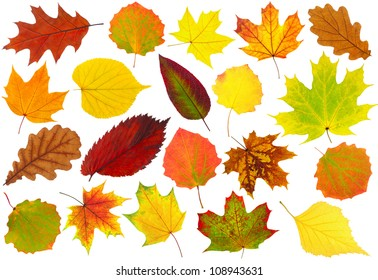 Multicolored leaves. Colorful autumn leaves collection isolated on white background