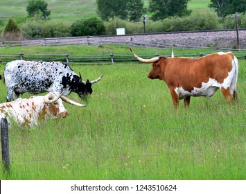 Multi-colored Longhorn cattle in pasture