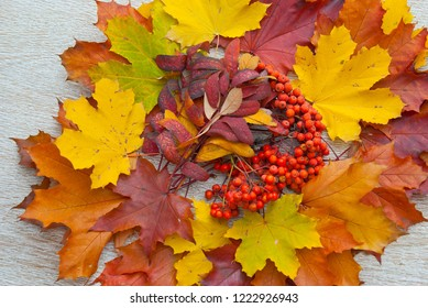 Multi-colored maple leaves and rowan on a wooden background
