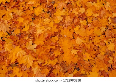 Multicolored maple leaves in sunny morning light. Colorful autumn maple leaves background in a sunny day. Autumn maple leafs