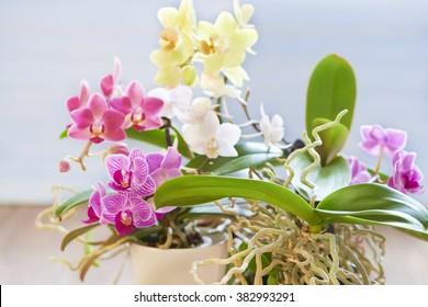 Multicolored orchid