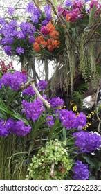 Multicolored orchids