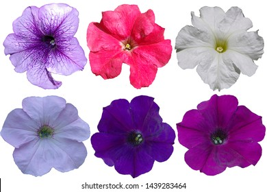 Multicolored petunia flowers on a transparent background