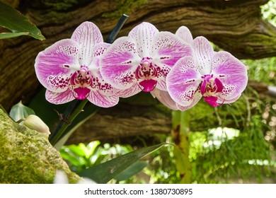 Multi-colored Phalaenopsis Orchid