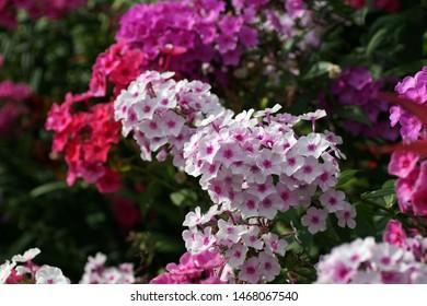 Multi-colored phlox in the photo. Phlox paniculata, fall phlox, garden phlox.  Fragment of a summer garden in bloom.