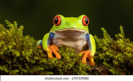 Multi-colored red-eyed tree frog close-up.