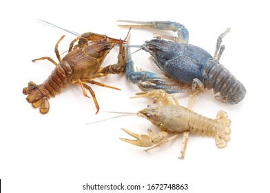 Multicolored river crayfish isolated on a white background.