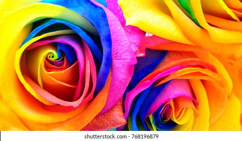 Multicolored rose flower backgound  : rainbow flower with colored petals