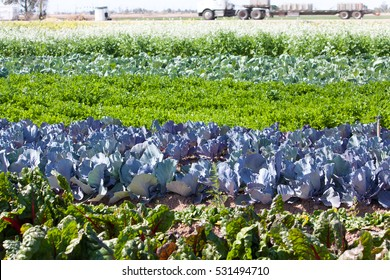 Multi-colored rows of vegetables grow in straight lines in fields in the hot sun of the California Arizona Desert near Yuma