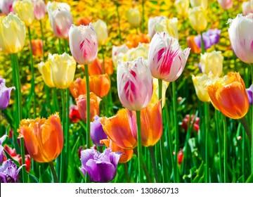 The multicolored tulips