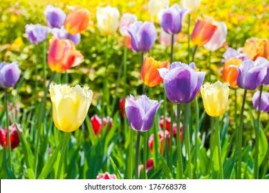 multicolored tulips
