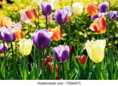 The multi-colored tulips