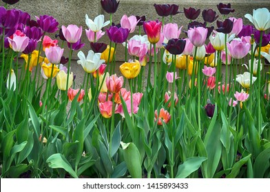 Multicolored tulips against a concrete wall