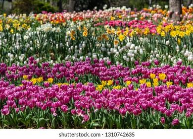 Multicolored tulips on theTulip Festival in Emirgan Park, Istanbul, Turkey