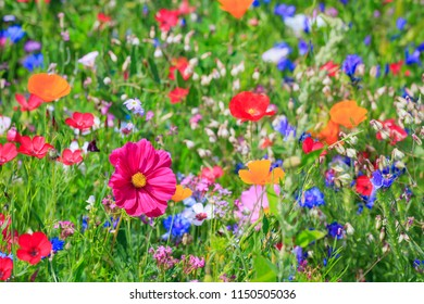 Multicolored yellow flowering summer meadow. Ecological pink green flowers landscape. Pink Cosmos flower (Cosmos Bipinnatus) on blurred background