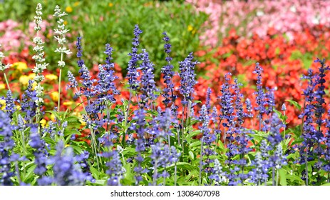Multicolour flower bed with blue salvia genus
