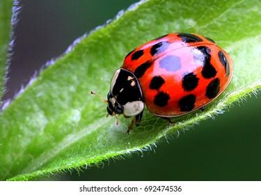 Multicoloured Asian Ladybird / Ladybug (Harmonia axyridis) walks on a leaf
