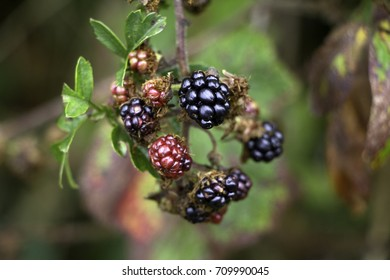 Multicoloured brambles on briar with out of focus background