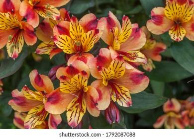 Multicoloured Peruvian Lily  Alstroemeria orange and pink