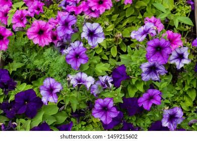 Multicoloured petunias ,colourful petunia (Petunia hybrida) flowers