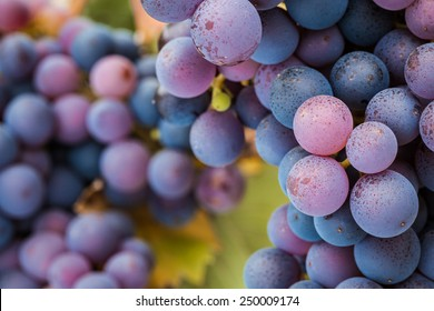 Multi-coloured Pinot Noir grapes, close-up macro image