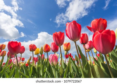 Multicoloured tulip field and clouds in the blue sky. Yersekendam, Zeeland province, Netherlands.