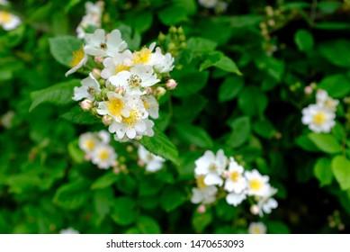 Multiflora Rose are blooming on the historical Nakasedo trail in Kiso Valley, Nagano, Gifu, Japan. Aka Seven-Sisters, Many-Flowered, Baby, Japanese and Rambler rose.