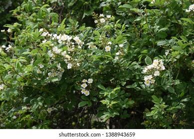 Multiflora rose blossoms (Rosa multiflora)