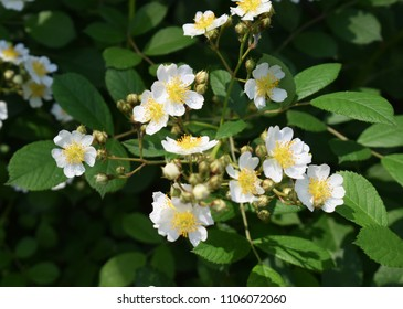 Multiflora Rose, Rosa multiflora in bloom