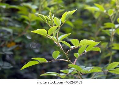 Multiflora rose's creep stem and leaves (Rosa multiflora)