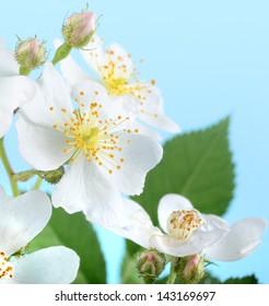 Multiflora roses, Rosa multiflora, against a blue background