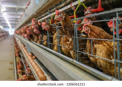 Multilevel production line conveyor production line of chicken eggs of a poultry farm, Layer Farm housing, Agriculture technological equipment factory. Limited depth of field. (Blur some of chicken)