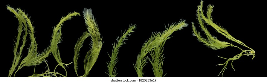 Multimarine algae, Caulerpa taxifolia, Killer Algae, seaweed and green algae isolated on black background, Algae powerful natural food source that is rich in protein, and fatty acids. Healthy seafood