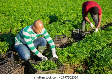 Multinational team of gardeners picking parsley at vegetable farm, seasonal horticulture