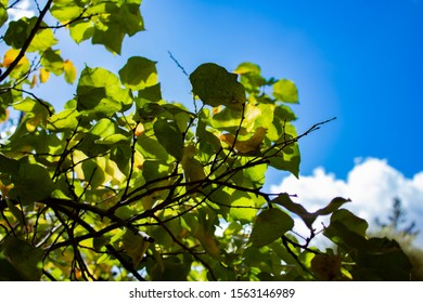 Multiple apricot leafs under clear and blue sky