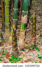 Multiple bamboo shoots or sprouts with green bamboo bush on background.