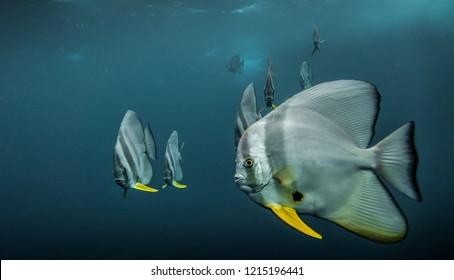Multiple Batfish in Truk Lagoon, Micronesia