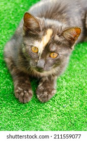 Multiple breed cat