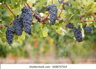 Multiple bunches of grapes on one long vine branch, blurred vineyard leaves background.